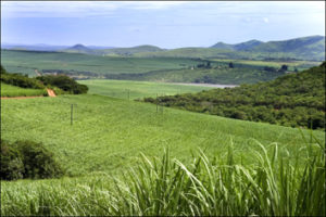 Sugarcane cultivated in the non-irrigated production areas of the South African sugar industry, where soils are frequently acid and low in plant-available silicon. Image credit: South African Sugarcane Research Institute.