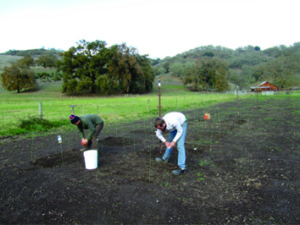 Kurt Vaughn and Steve Fick seeding the experimental plots at the Hopland site in November 2011. Photo by T. Young