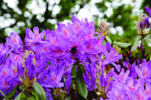 Rhododendron ponticum in Ireland is genetically distinct and has flowers with significantly wider nectar tubes than ancestral populations in Spain (photo by Jane C. Stout)