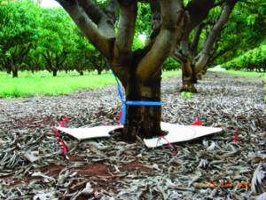 Mango tree in rootstock field trial with six soil coring positions 0.5 m from trunk marked by red tape on wire pegs (image source: S.L. Bithell).