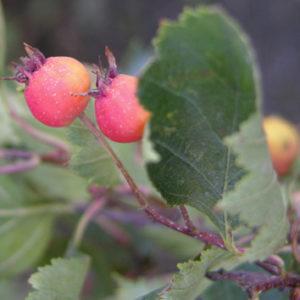 Crataegus chrysocarpa (fireberry hawthorn, NT516, North Okanagan Regional District, British Columbia, Canada). Photo © Mehdi Zarrei 2010.