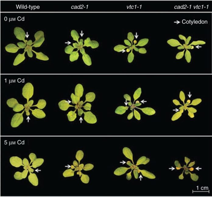Representative pictures of the rosette appearance of four Arabidopsis thaliana genotypes