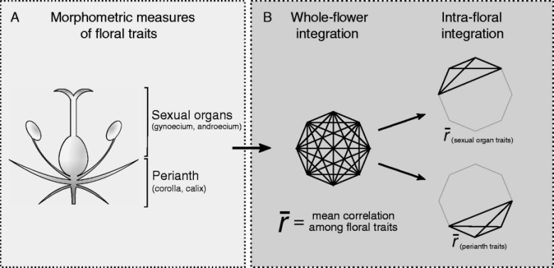 Schematic representation of the protocol to estimate floral integration based on morphometric measures of floral traits.