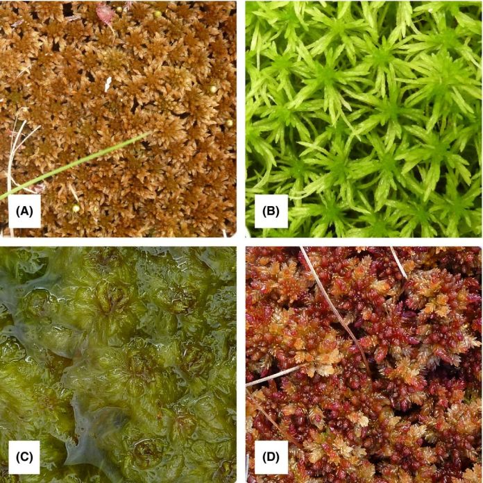 Four of the species included in the study: Sphagnum fuscum (A), S. girgensohnii (B), S. cuspidatum (C), and S. magellanicum (D).