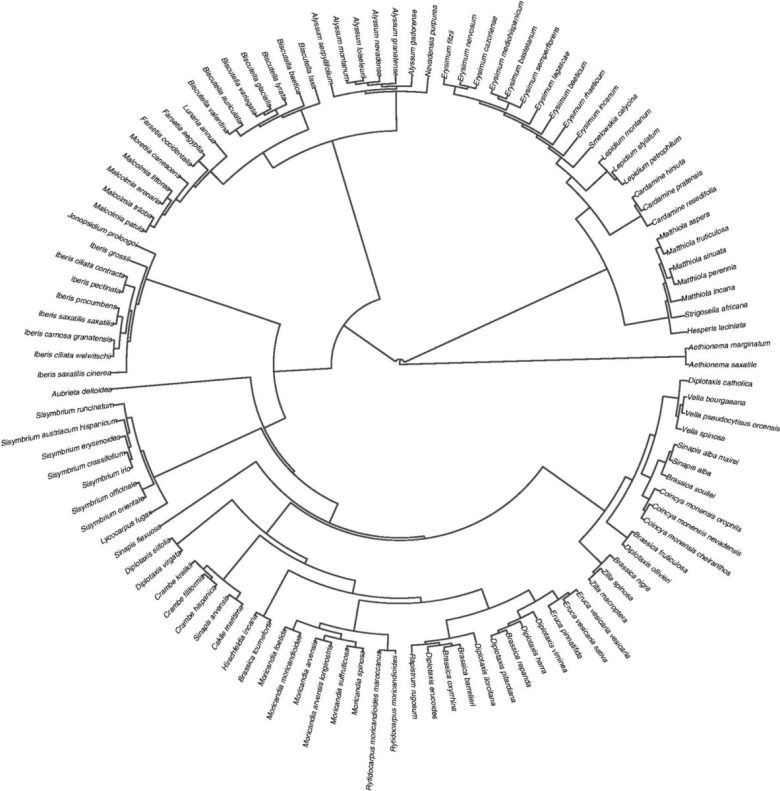 Phylogenetic relationships of the Brassicaceae taxa included in this study.