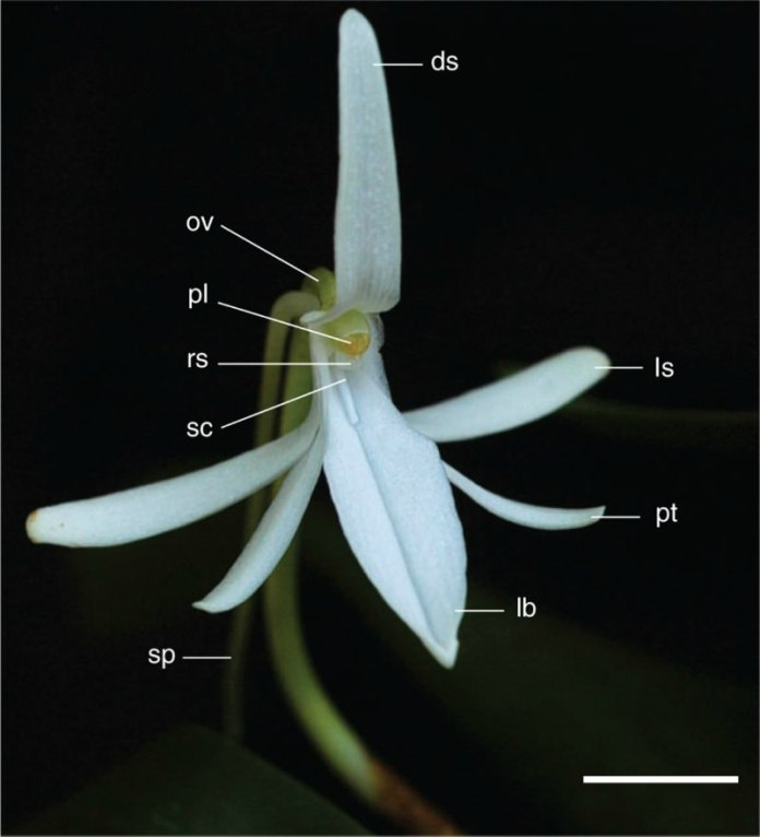 Jumellea fragrans