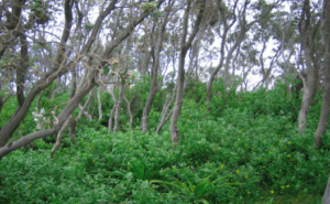 Bitou bush (Chrysanthemoides monilifera), a South African shrub, has become a significant alien invader in Australia. Bitou bush has been listed a key threatening process under Australian threatened species legislation. Over 150 native plant species have been identified as being threatened from bitou bush invasion. This photo shows bitou bush invading the understorey of Coastal Banksia Woodland in New South Wales, where it threatens numerous native plant species as identified through the NSW Threat Abatement Plan (DEC2006). Photo copyright: Paul Downey