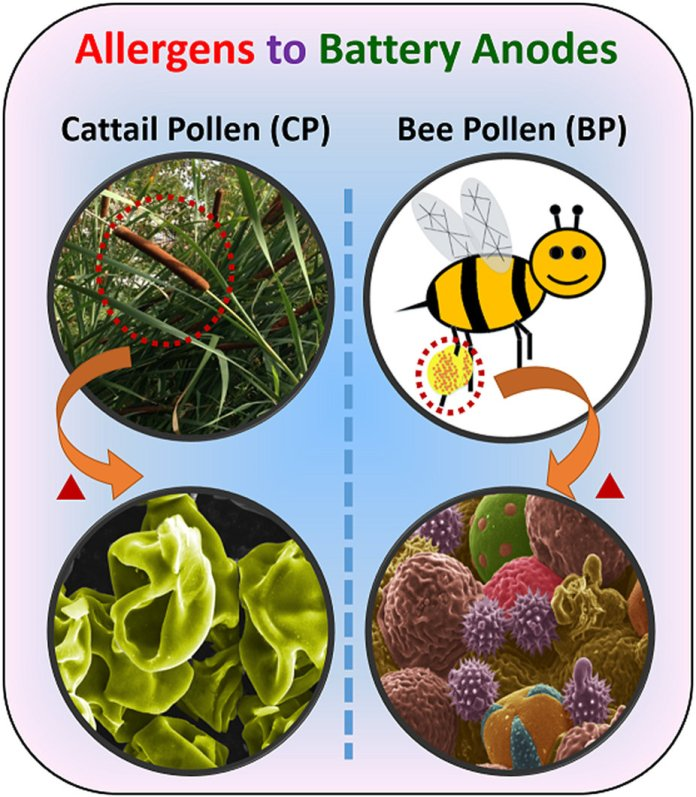 Preparation of pollen derived carbon microstructure via solid state pyrolysis of two distinct pollen sources.