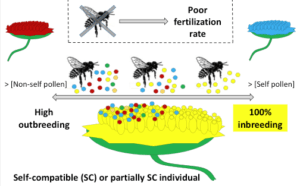Pollinator dependency for outcrossing levels in self-compatible (SC) and partially self-compatible (pSI) plants. As SC or pSI plants of Sonchus section Pustulati likely need of pollinators to be either outcrossed or self-pollinated, the mating system (from inbreeding to outcrossing) in the SC and pSI populations will primarily depend on the pollen load of pollinators and, secondly, on which degree of pollen (self or non-self) has higher fertilization success. (Credit: Silva et al.)