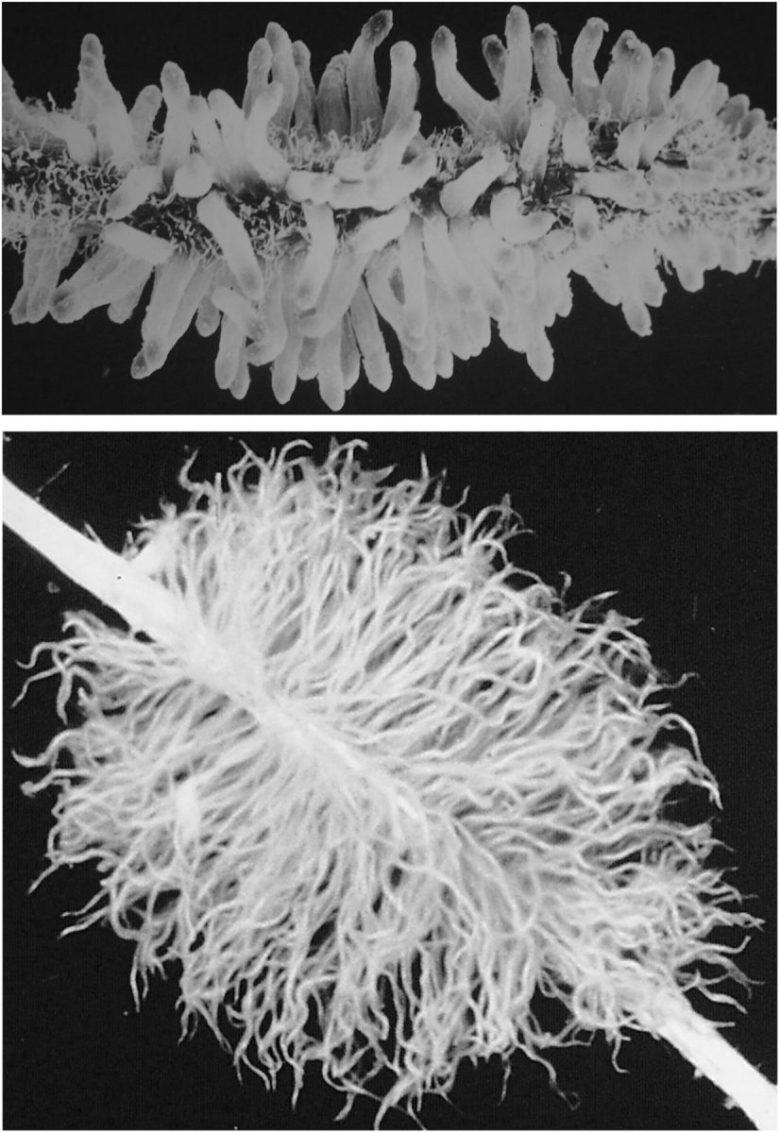 Proteoid root clusters of Leucadendron salicifolium and Viminaria juncea