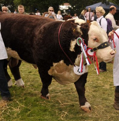 Hereford Bull, Normanton 1 Laertes, from Ashby-de-la-Zouch in Leicestershire. He was born from embryo transfer, and was Supreme Champion at Burwarton Show in 2016.