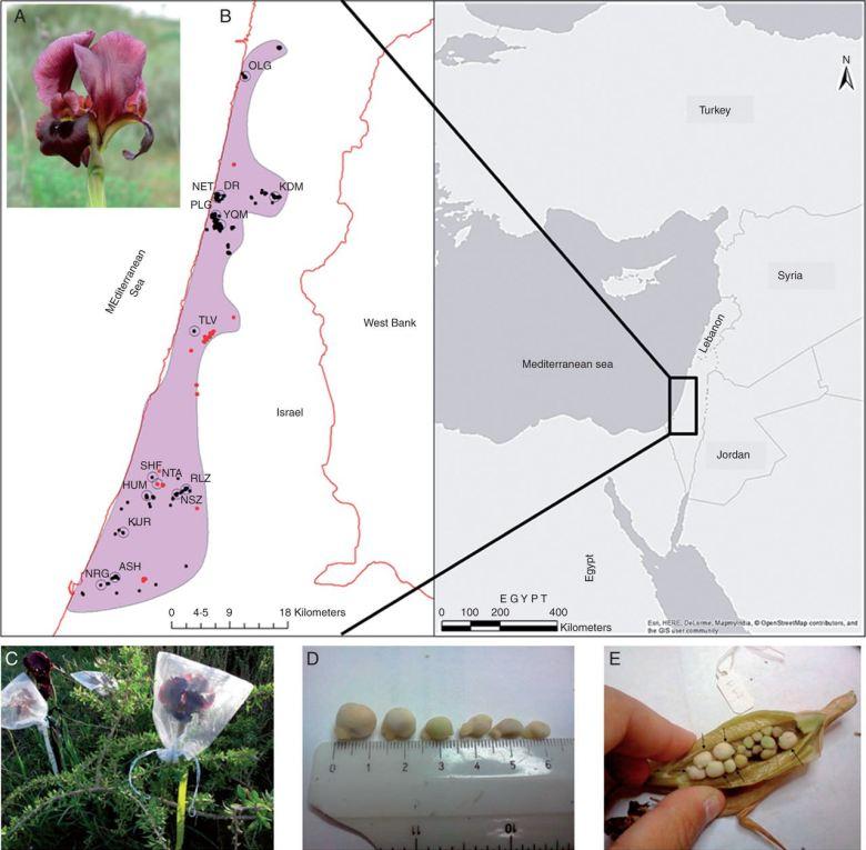 Flower of Iris atropurpurea in NET population and distribution map of I. atropurpurea.