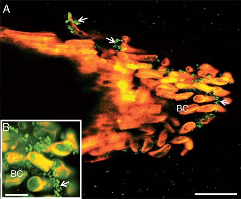 Laser confocal microscopy image showing binding of the bacterium P. atrosepticum to S. tuberosum root tip.