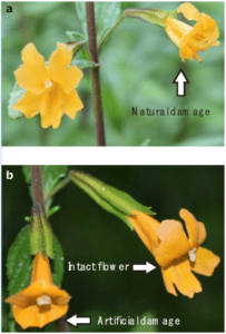 Photographs showing (a) a flower with natural damage by florivorous insects and (b) an example of paired flowers, with one intact and one experimentally damaged. Photo credit: P. Garvey and M. Dhami.