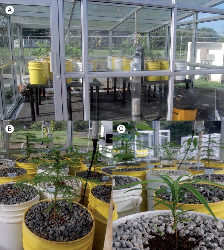 Glasshouse showing soda lime column and vacuum pump in foreground (A), seedling of <em>Araucaria heterophylla</em> (B) and (C) seedling of <em>Podocarpus guatemalensis</em>.