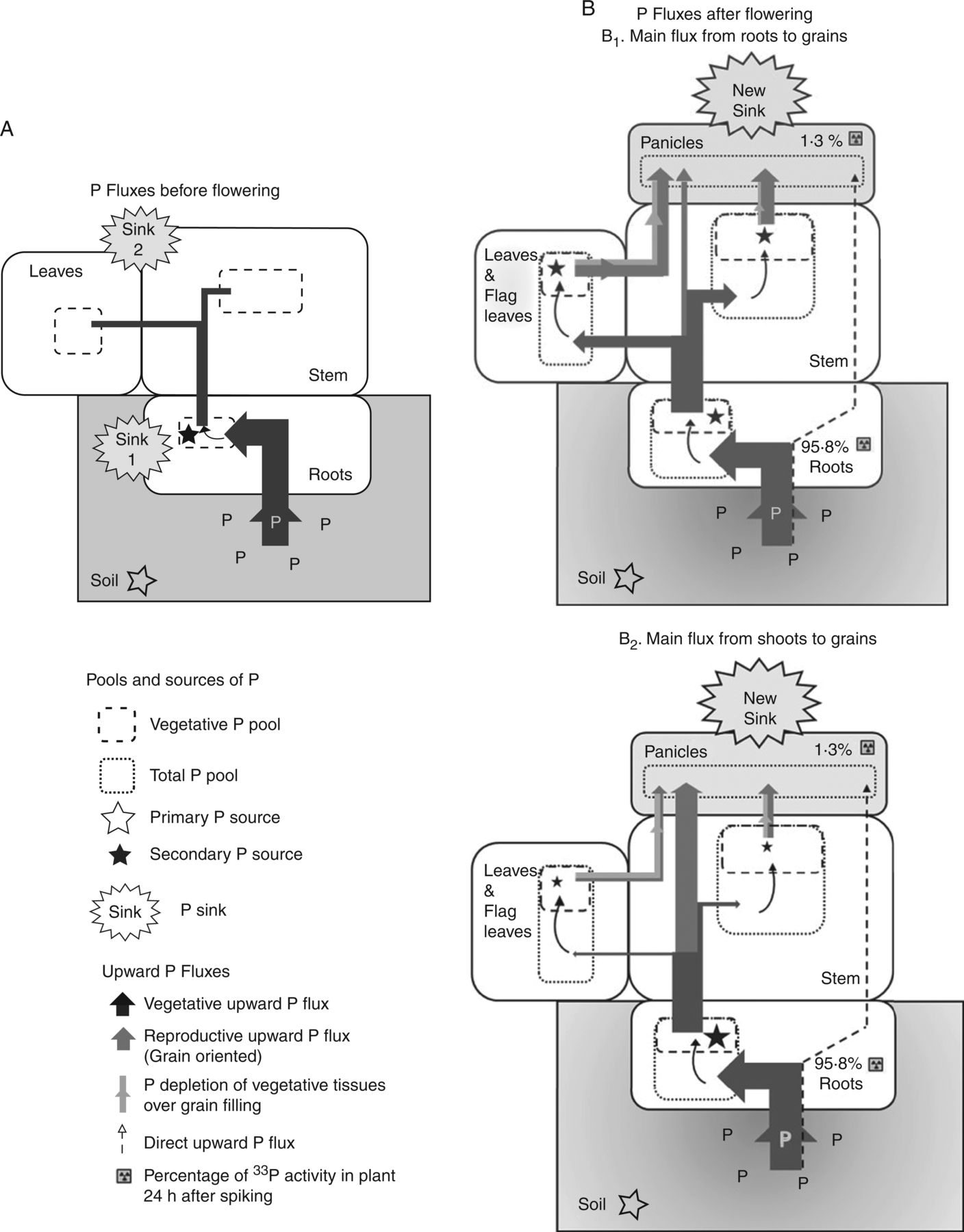 hight resolution of proposed model of upward p fluxes in rice plants before a and after