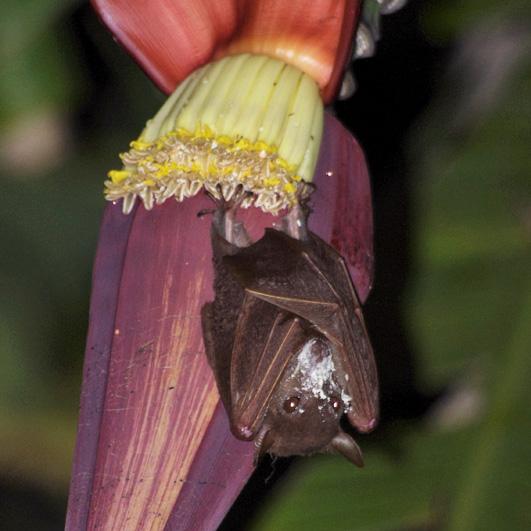 A pollinating bat.