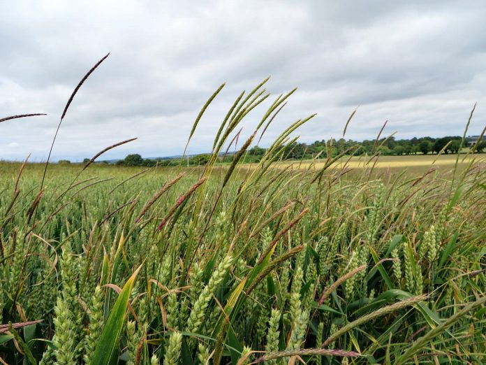 black-grass and wheat