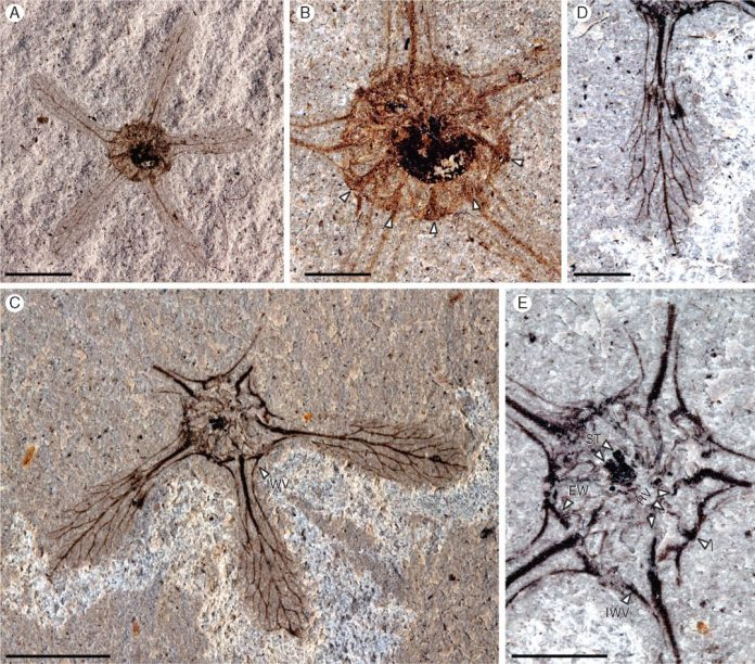 Ceratopetalum edgardoromeroi Gandolfo and Hermsen, sp. nov.