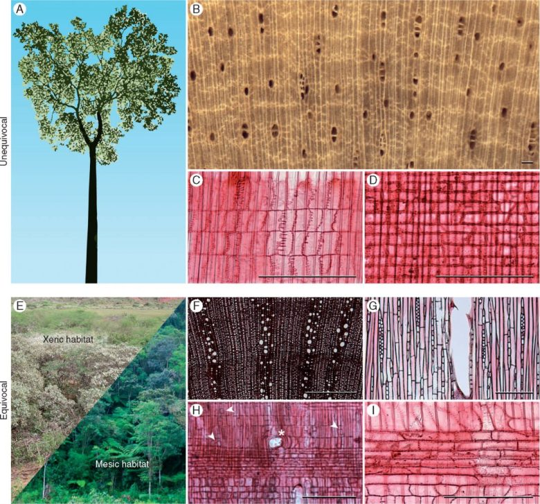 Images (including light micrographs) of character states (unequivocal and equivocal) present in ancestral Croton inferred via ancestral state reconstruction.