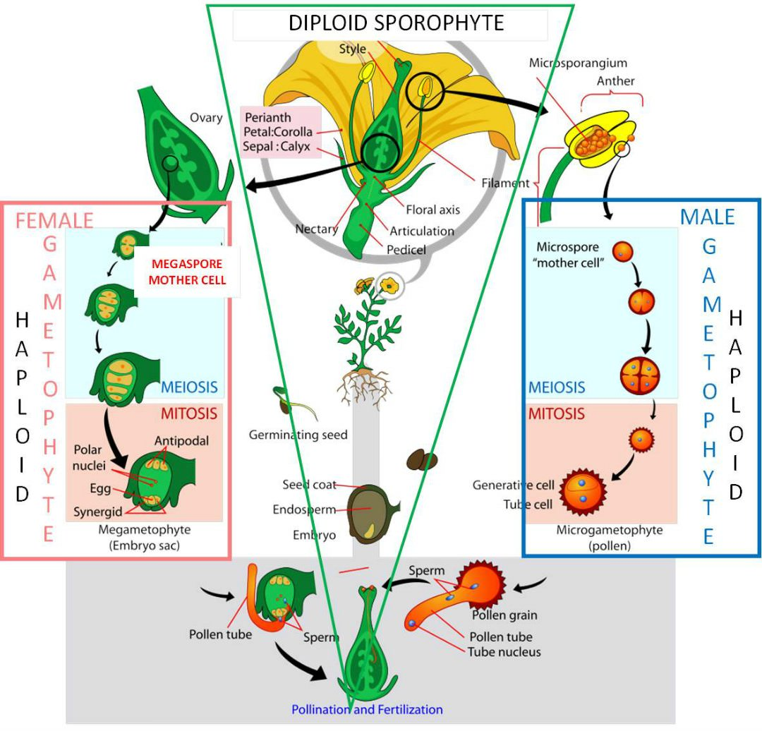 hight resolution of life cycle of an angiosperm