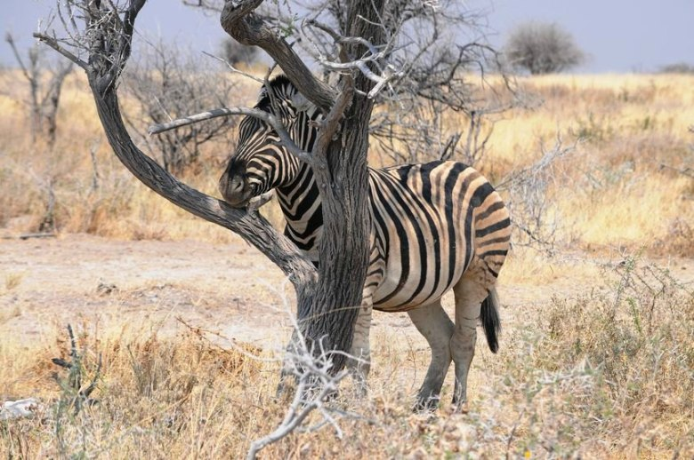 Tree (and zebra)