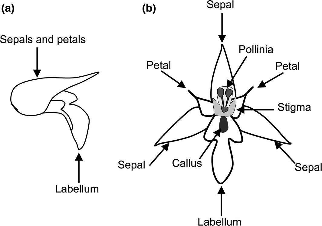 hight resolution of drawing of a whole with petals sepals and hypochile the proximal part