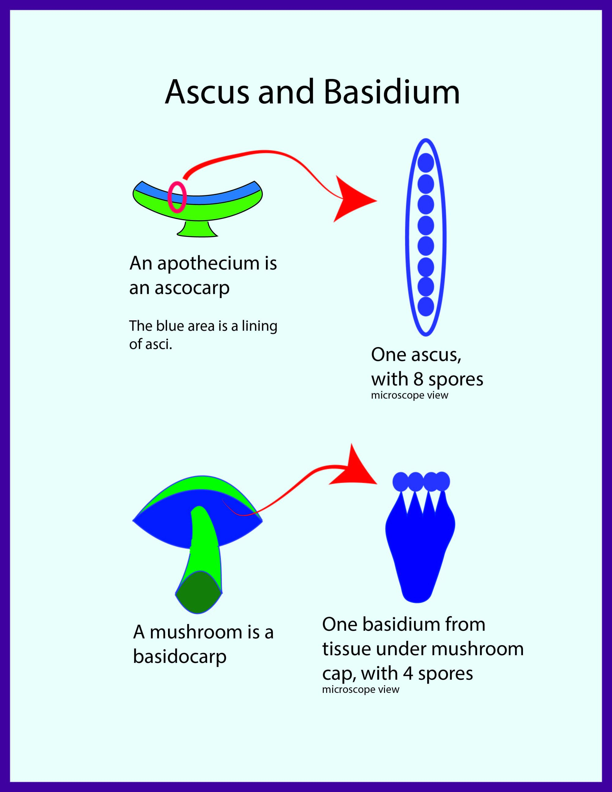 hight resolution of comparison of ascus from an ascocarp apothecium for example and basidium from a badidiocarp