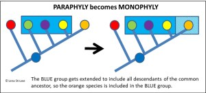How a paraphyletic group can get reclassified so it becomes a monophyletic group. (c) Lena Struwe