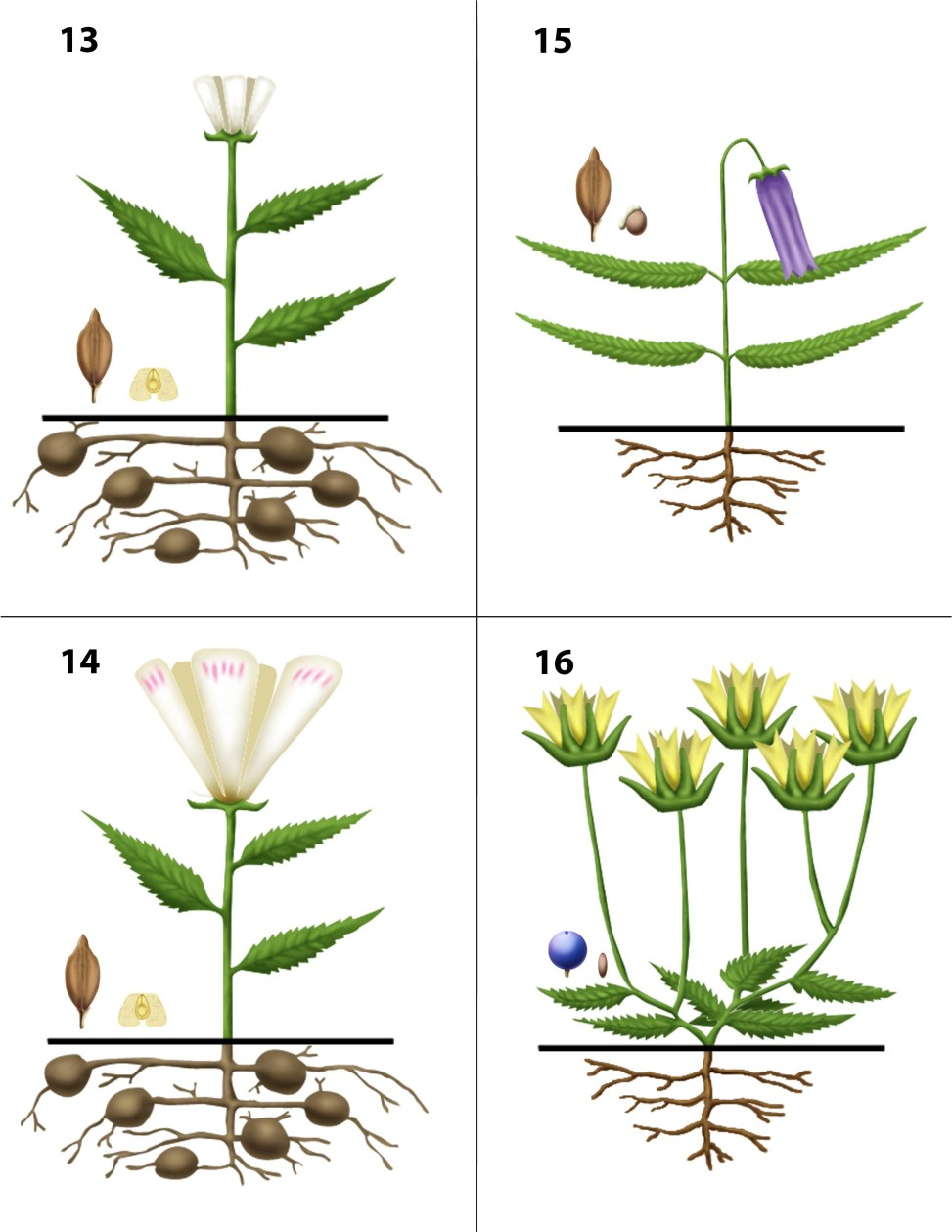 Dendrogrammaceae 13-16
