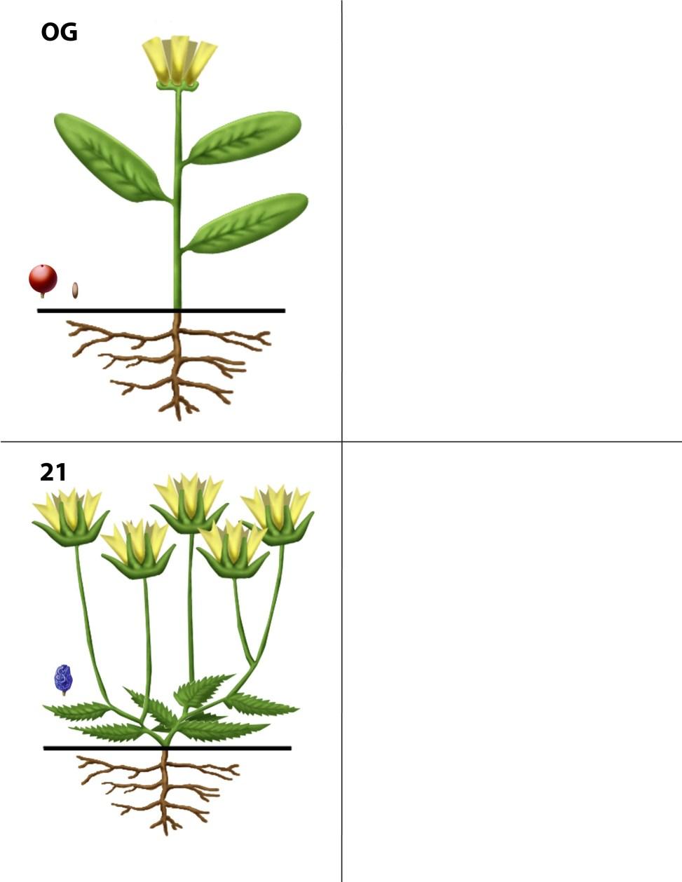 Dendrogrammaceae 21 + Outgroup (OG)