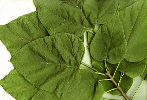 Catalpa speciosa leaves