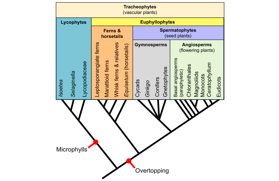 Tracheophyte phylogeny and leaf origins (cc) E Hermsen