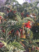 Melianthus (called 'Kruitjie-roer-my-nie', in Afrikaans)