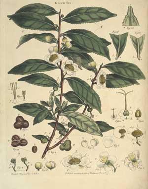 Árbol de Té