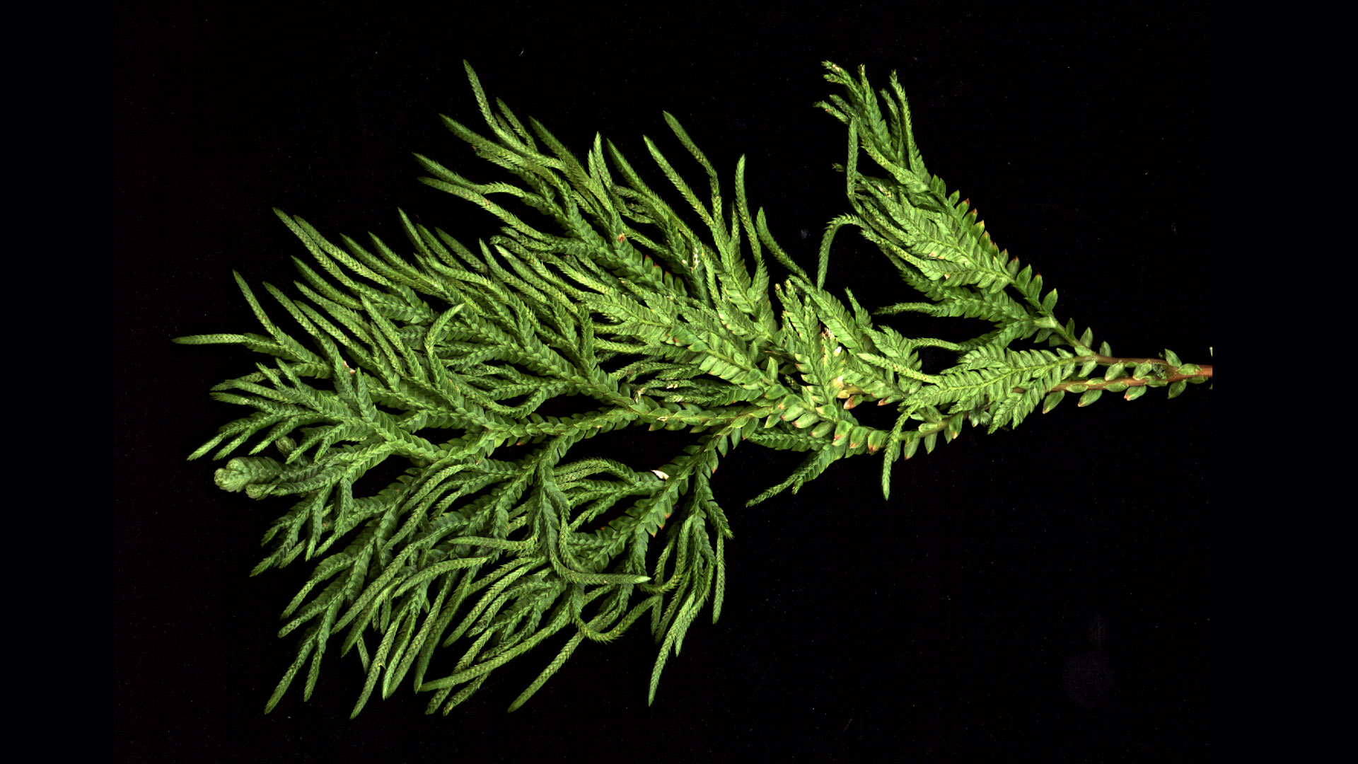 horsetail plant diagram ba falcon wiring list of synonyms and antonyms the word selaginella