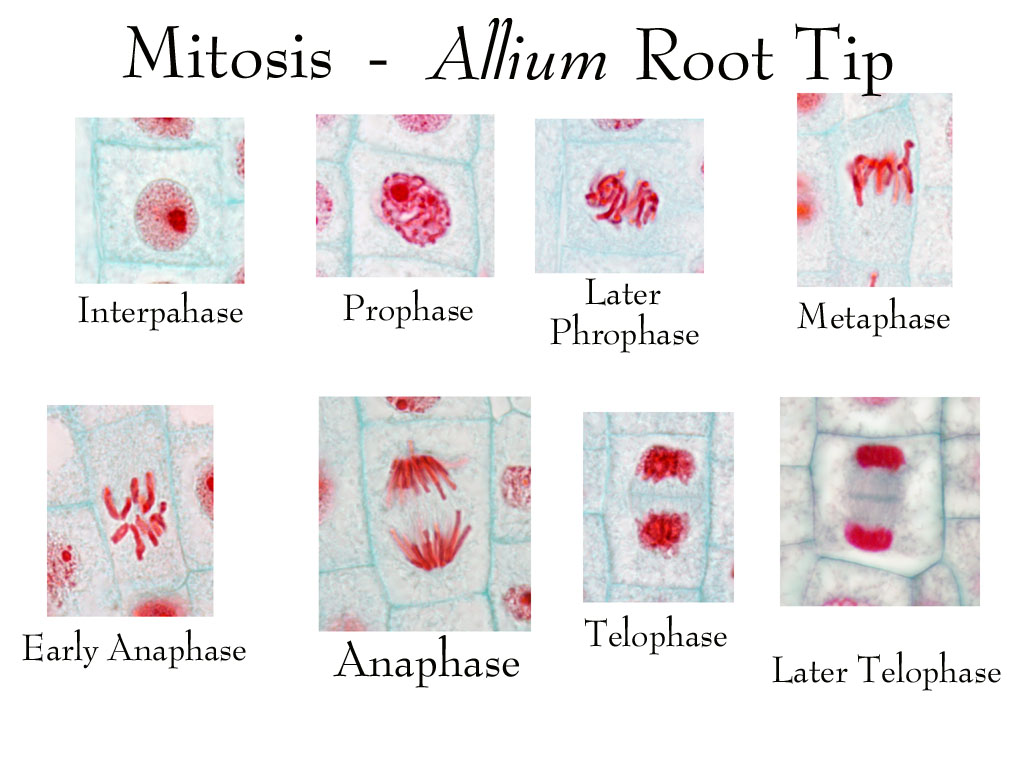 onion root tip diagram phone jack wiring nz biology pictures mitosis in a plant cell