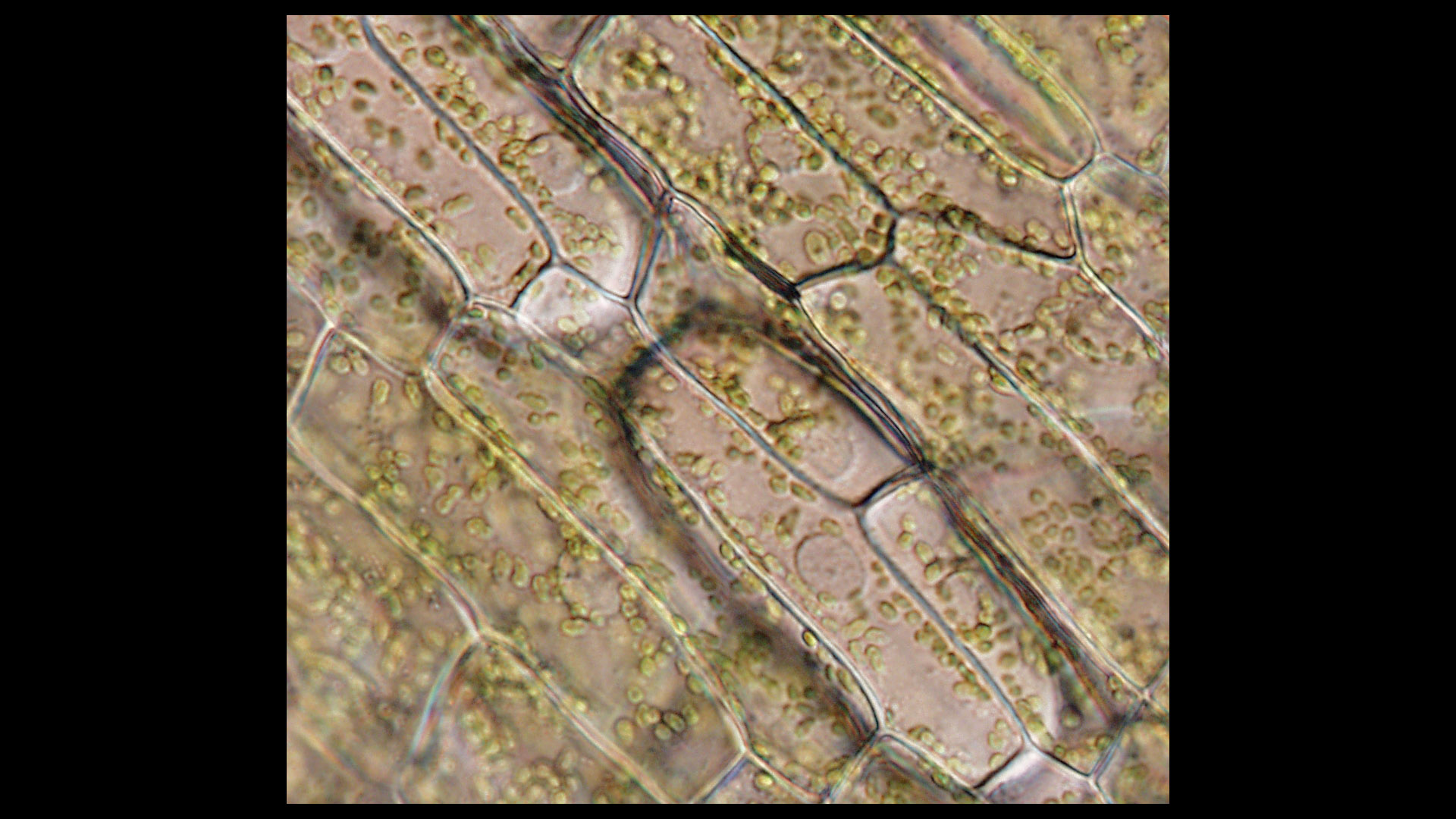 elodea leaf cell diagram toyota mr2 wiring nucleus related keywords long tail