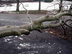 copac rupt de vant