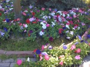 flori primarie
