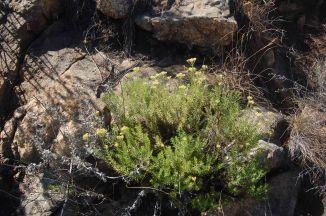 The straw everlasting or sewejaartijie, Helichrysum krausii, Asteraceae. © Pat Lennox