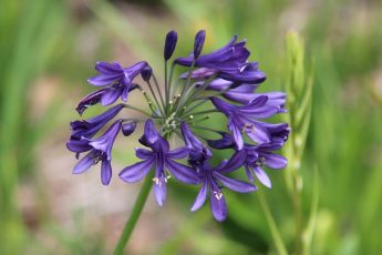 Agapanthus ©LifeGreenGroup