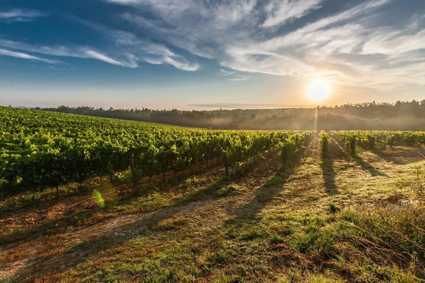 Rebstockreihen in der Toskana bei Sonnenuntergang