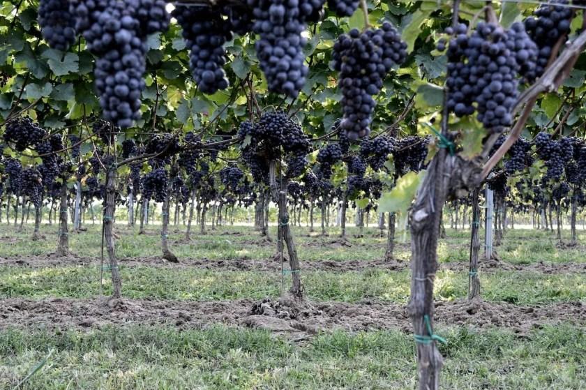 Blick in die Reben vom Weingut Meinrad Markowitsch