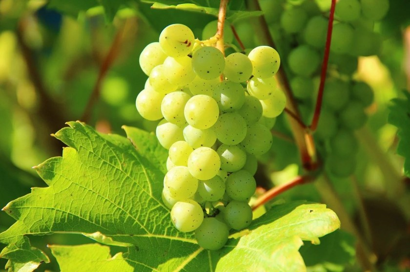 Weiße Weintraube am Rebstock
