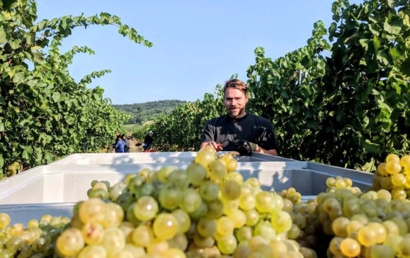 Winzer Markus Altenburger im Weingarten während der Lese