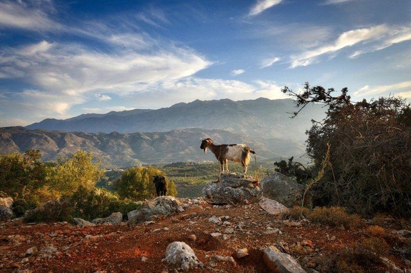 In den Bergen der griechischen Insel Kreta steht eine Ziege auf einem Stein