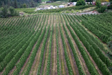 Summerland Vineyard