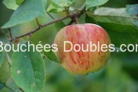 pomme tigrée sur sa branche