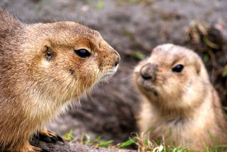 animals prairie dogs rodents